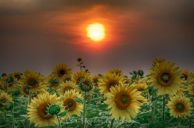 Sinister Sunflowers