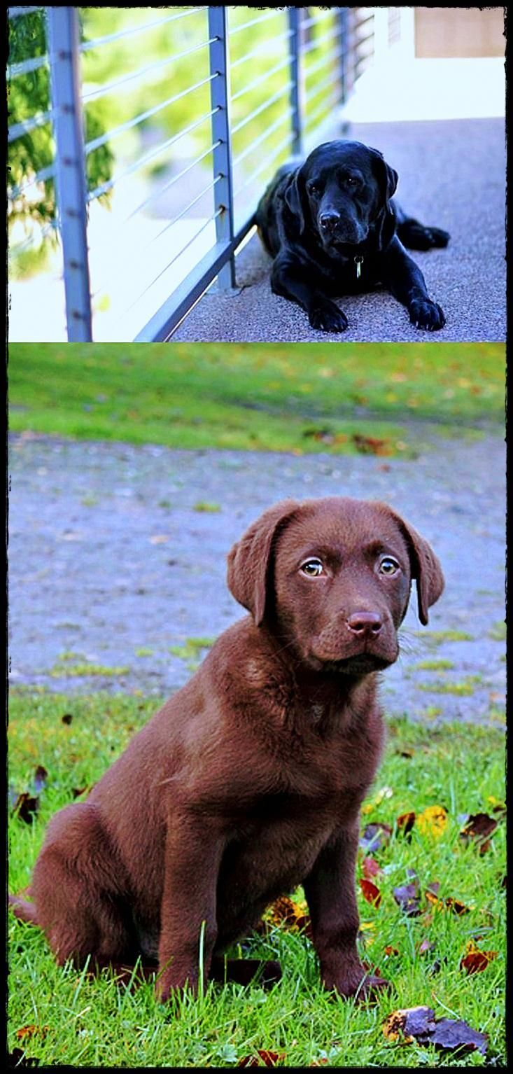 Labrador Puppies Victoria For Sale See The