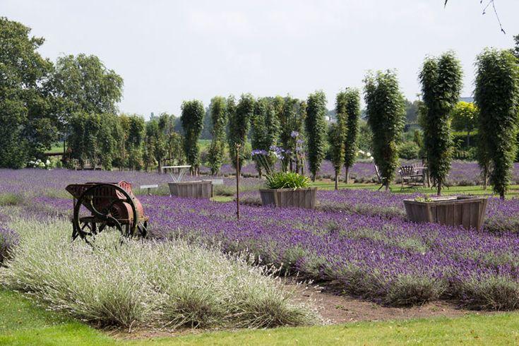 Lavendelboerderij-Grannys-Bouquet- in Stroe - @woonguide