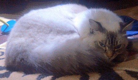Ragdoll cats for sale in NSW Australia.   http://www.truelocal.com.au/business/ragdoll-cats-for-sale/taree