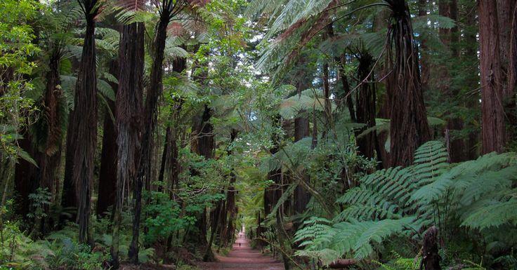 Freshtake Publishers (Photographer Jennifer Hammond): Ferns at the Redwood forest in Rotorua, New Zealand.   This shot appears as February in the FreshTake New Zealand 2015 Calendar.