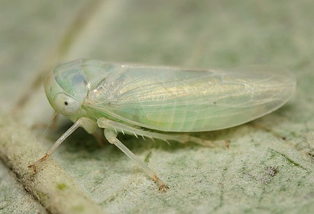 British Bugs Home - An online identification guide to UK Hemiptera