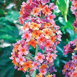 Kaleidoscope Butterfly Bush.  Looks like candy! Would be great for a kid's garden