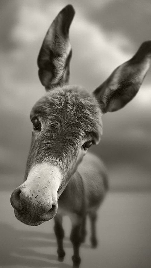 Art Creative Funny Animals Donkey Black White HD IPhone Wallpaper