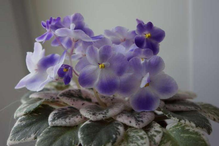 Heinz's Little Nugget (H. Dornbusch).Полумахровые обильные сине-фиолетовые цветы с белым глазком; яркая кремово-розовая пестролистность на темно-зеленой сердцевидной листве. Полумини. 30/12.лист