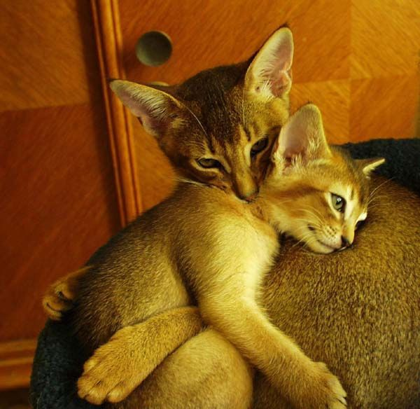 Abyssinian Mama and Kitten there there Darling it's all going to be ok Mama loves you always