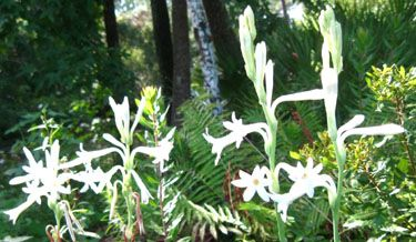 Single Mexican Tuberose flowers.  Photo by Stibolt.