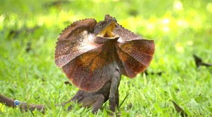 Reshare to see more #frilled #lizard #pics like this one. These #creatures are #amazing #reptiles & #scary #animals .  Check out beardeddragons.xyz/terrarium/supplies if your looking to #setup your own #terrarium the #easiest #way possible. Bearded dragon - Google+