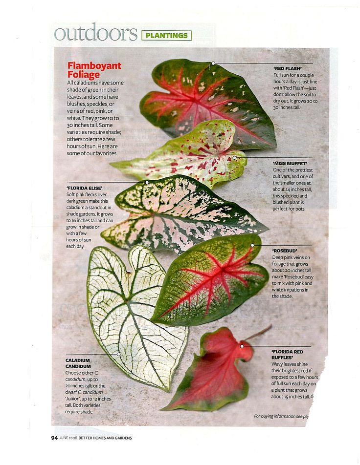 Caladiums pots and shady gardens