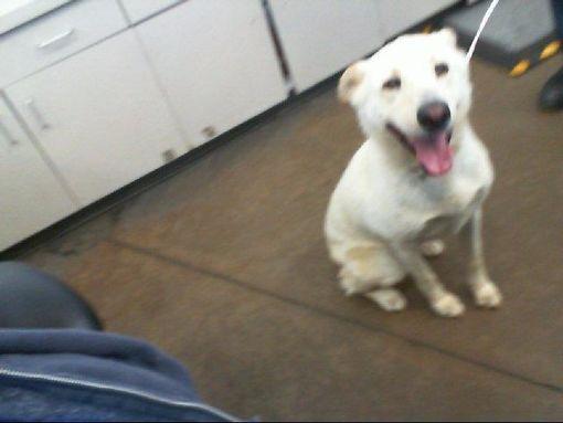 Dallas Tx Labrador Retriever Meet Shyla A Pet For Adoption In 2020 Labrador Retriever Labrador Retriever