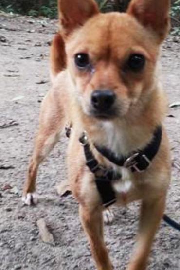 Hund, Chihuahua (Mischling, Hündin, 1,7 Jahre) in Bochum/Nordrhein-Westfalen
