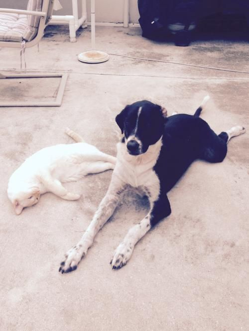 Lab Pointer Dog For Adoption In Royal Palm Beach Fl Adn 35463 On Puppyfinder Com Gender Male Age Dog Adoption Pointer Dog Dogs