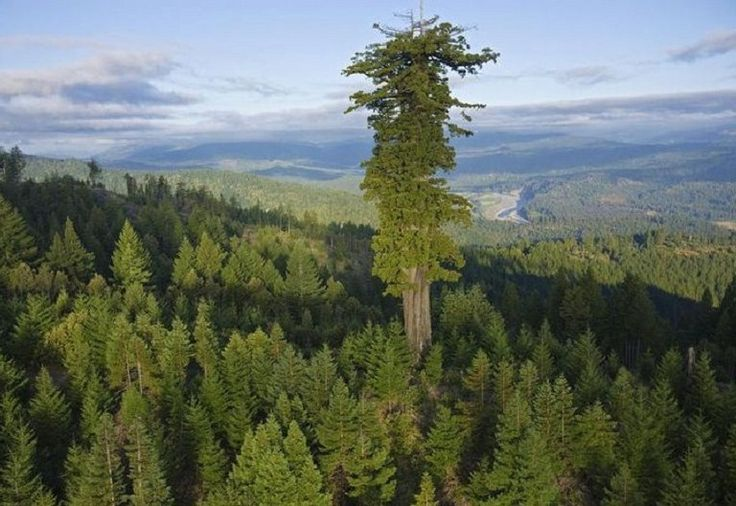 Tallest living tree in the world - Apparently ...