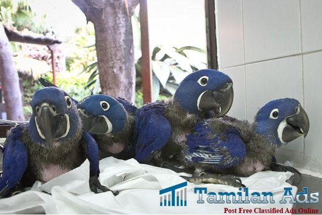 Hyacinth Macaw Baby for Sale..http://wazaexoticbirdswildlifeaviarycenter.webs.com/ - Tamilan Ads
