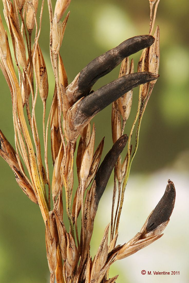 claviceps purpurea ergot moederkoren nl is an ergot fungus that grows on the ears of rye and. Black Bedroom Furniture Sets. Home Design Ideas