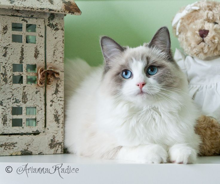 Ragdoll Cat Breed Spotlight By Petco With Images Ragdoll Cat