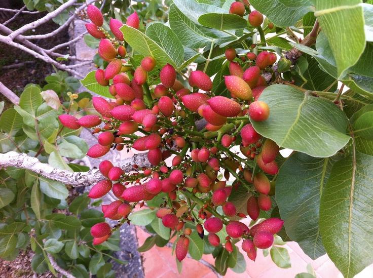 Your pistachio gelato still on the tree!  At the pistachio farm in Bronte, Sicily