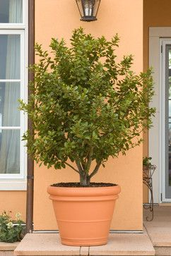 Bay leaf tree! Potted for the patio/deck area...use for cooking tooSweet bay tree for pot ( bay leaves for cooking)Great plant to plant in a pot near kitchen so you can use i?