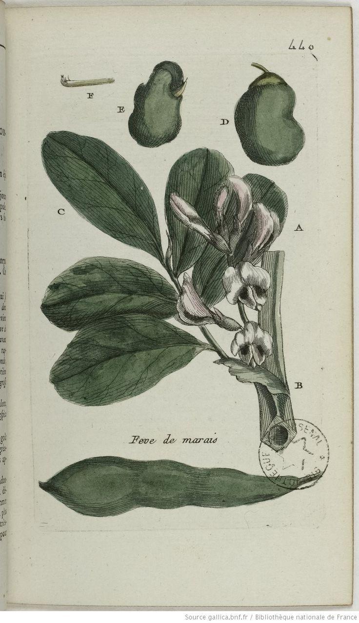 VICIA - Vicia faba. La fève des marais / La grosse fève / La lombarde / La fève verte