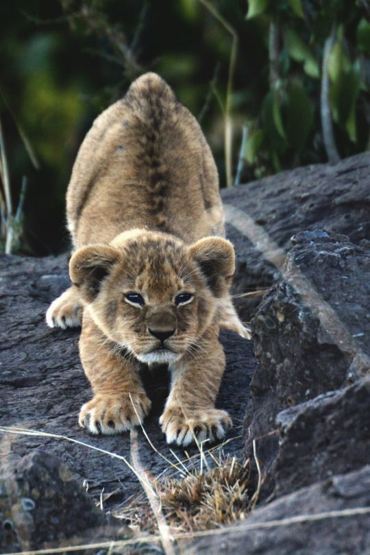 lion cub stretch