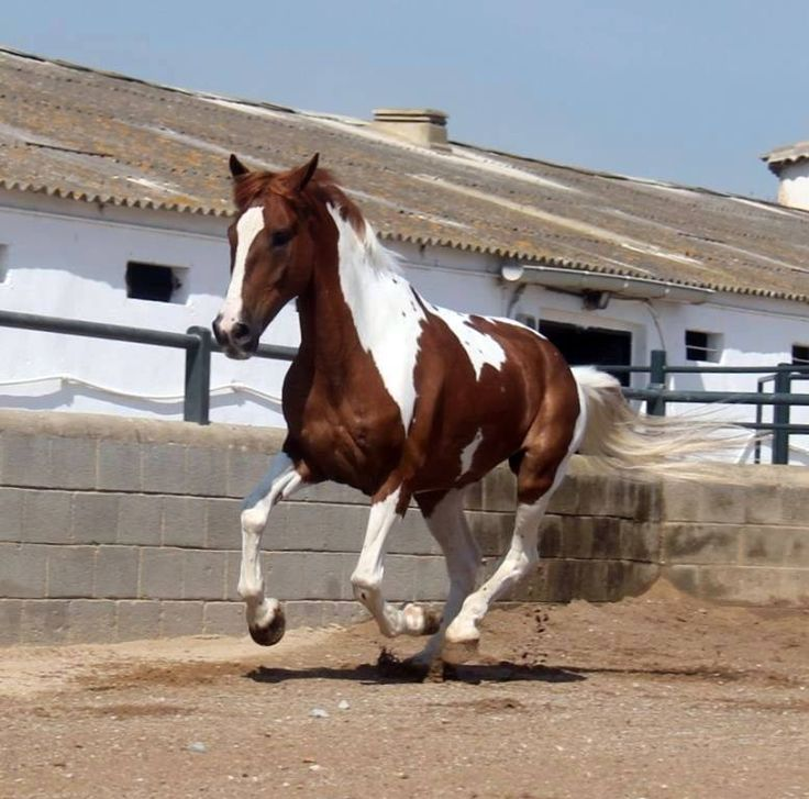 (94) Andalusian Spanish HORSE SALES Sunhorse - Photos