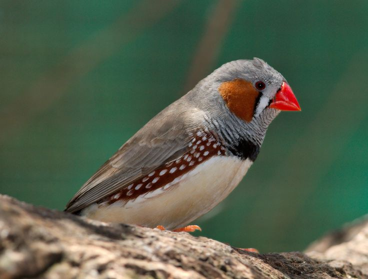 finches | Zebra Finch Birds