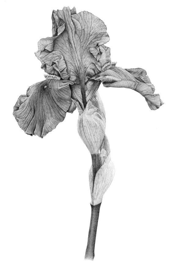 Iris Botanical Print from original by TobererIllustrations on Etsy, $20.00