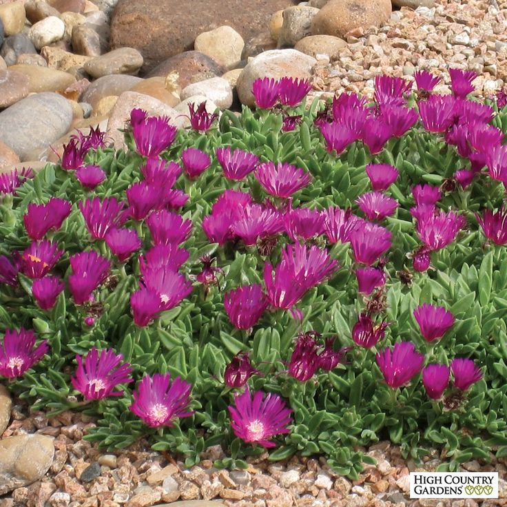 'Blut' is one of the very best cold hardy Ice Plants. With its vigorous growth habit, durable evergreen foliage and summer-long display of deep magenta-red flowers, it is an invaluable groundcover.  Drought resistant/drought tolerant plant (xeric).