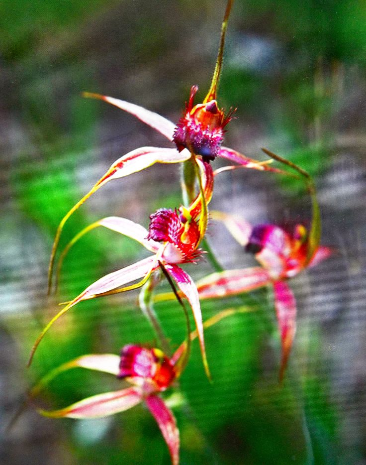Spider Orchid from Kojonup, West Australia