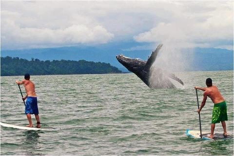 Sup and whale Nuqui Choco Colombia