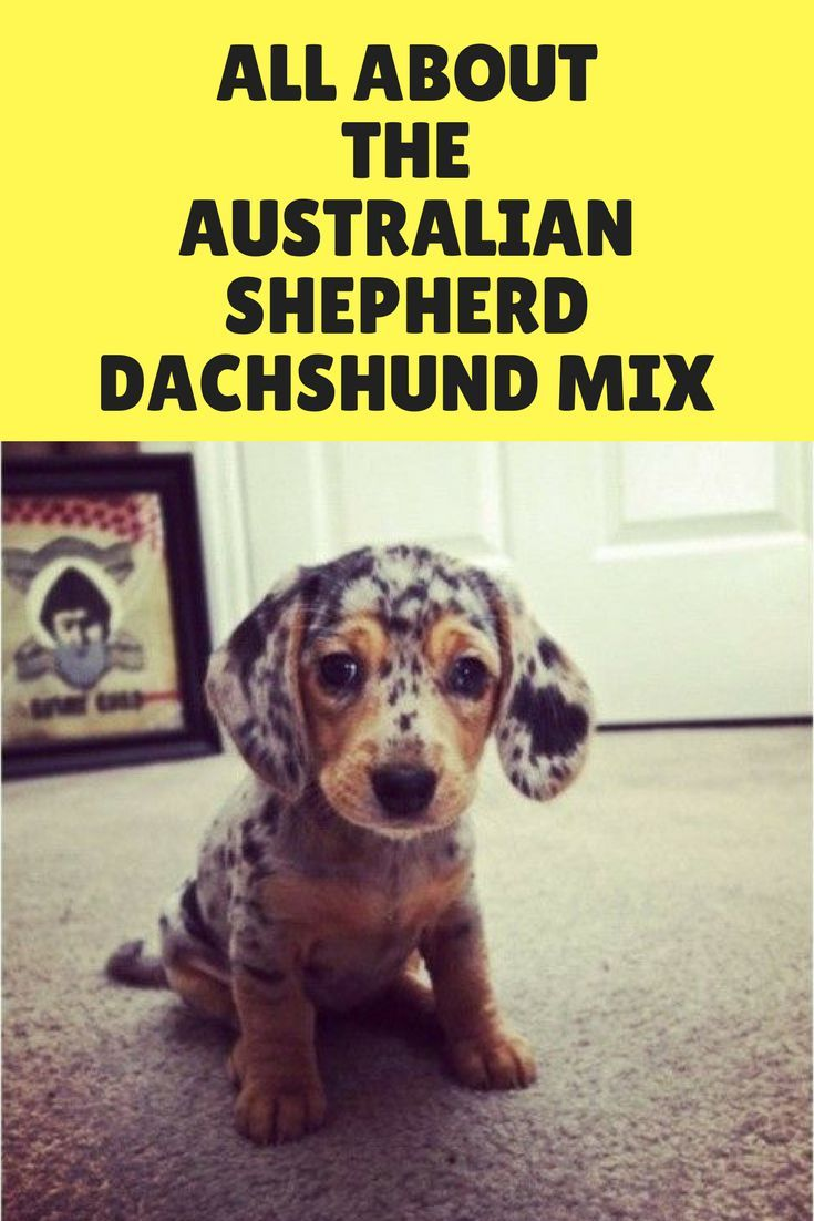 The Australian Shepherd Dachshund Mix Facts Information