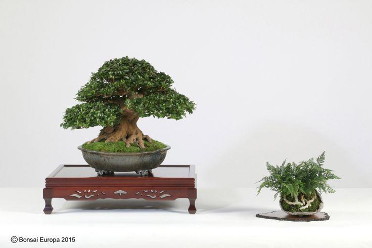 Studio photos from Bonsai Europa 2015   Bonsai & Yamadori from Tony Tickle