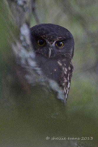 Ruru (Morepork) | New Zealand's only endemic owl