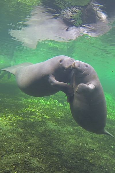 Our next Livestream episode will air this upcoming Friday 1/22/16 at 10am! Follow us and watch live: https://livestream.com/manatees4us/events/4679739
