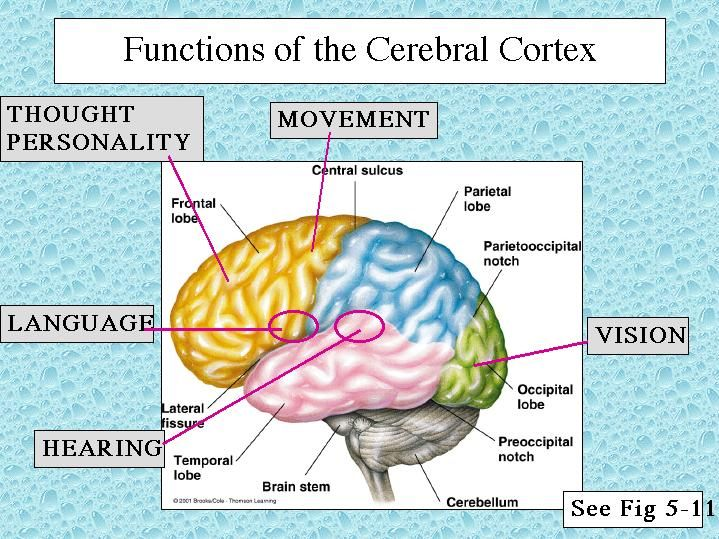 the 25+ best cerebral cortex function ideas on pinterest, Human Body