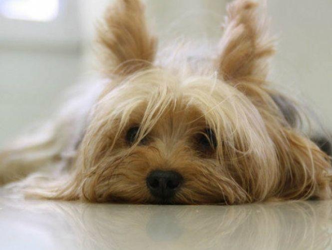As raças de cães mais populares na internet em cada país: Chile - Yorkshire Terrier