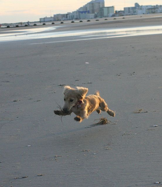 Winnie - the English Cream Long Haired Miniature Dachshund, via Flickr.