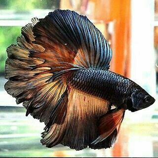 Black betta