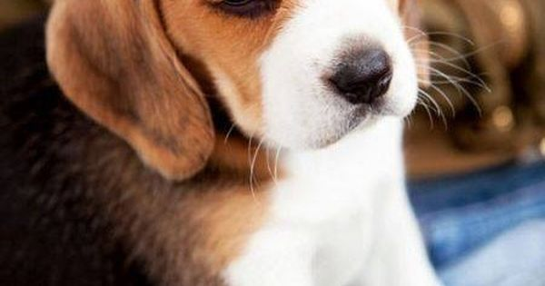 Dogspuppiesforsalecom liked | Sweet Beagle Puppy Getting a dog or a puppy as a new addition to your family is an excellent decision! You're adding another member that can provide lots of love and enjoyment! This is a relationship you'd want to make sure that you're doing right the first time around. You'll need to find out what makes your dog happy what are the things to look out for and basically how to give them a long and fulfilling life. This is what dogs puppies for sale is for.
