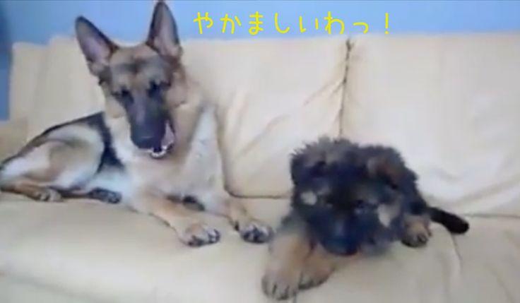 子犬とお父さん教育パパのジャーマンシェパード子犬に厳しい規律を教える