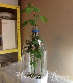 Hartwood Roses: How to Root Roses from Cuttings - im totally doing this!