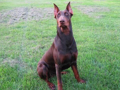 Warlock Doberman Pinscher | Dobermann - Les avis et les photos des internautes - Choisir son chien