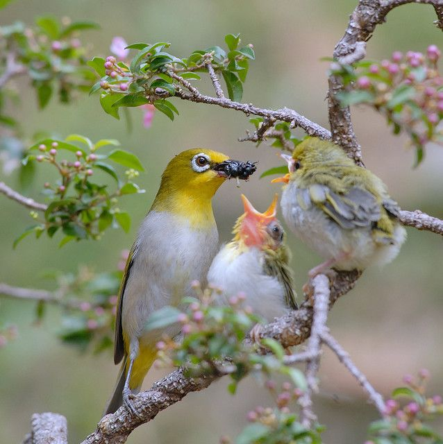 Japanese White-eye birds  綠繡眼