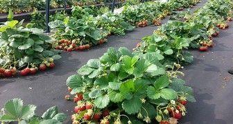 Как посадить клубнику весной, чтобы ягода была крупной и не болела фото