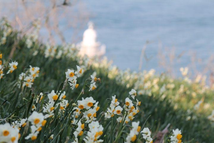 男木島 水仙郷  Ogijima Narcissus