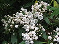 Kalmia latifolia (Mountain-laurel)
