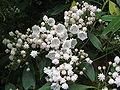 Kalmia latifolia (Mountain-laurel)