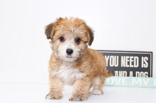 Shorkie Tzu puppy for sale in NAPLES, FL. ADN-39387 on PuppyFinder.com Gender: Female. Age: 9 Weeks Old