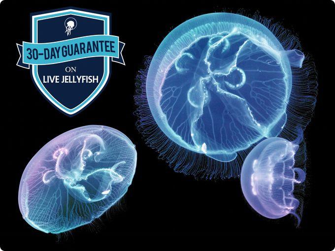 Jellyfish Aquarium   Indiegogo