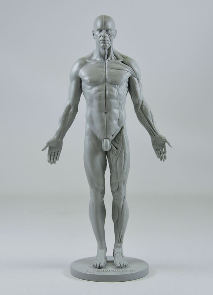 32 best Anatomy images on Pinterest | Anatomy reference, Human ...
